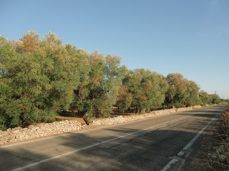 ulivi malati strada alezio-taviano (1)