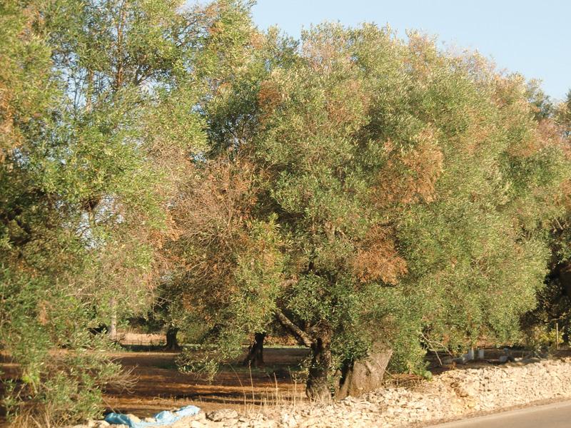 ulivi malati strada alezio-taviano (2)