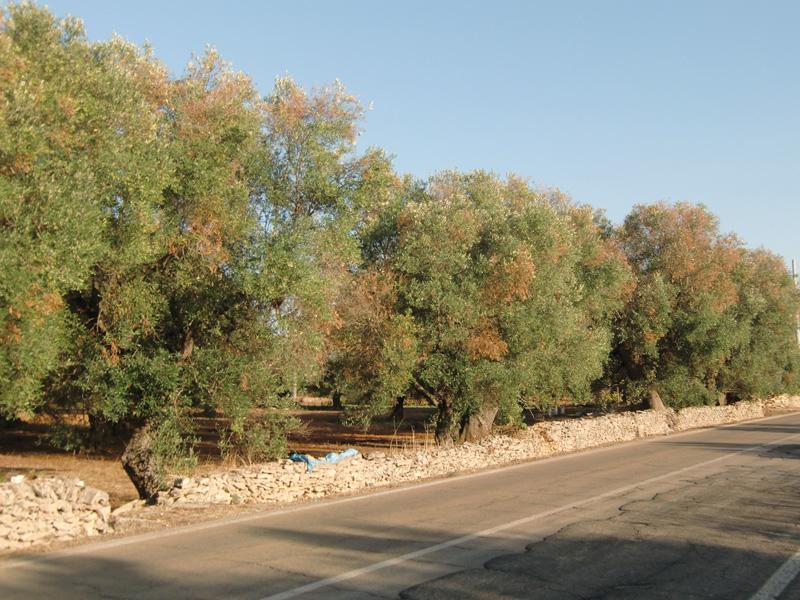 ulivi malati lungo la strada Alezio-Taviano