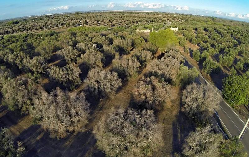 ulivi-malati-zona-li-sauli-taviano-foto-LUIGI-REHO-(2)
