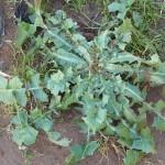foja-ndurante-o-ciolo-crepis-rubra(1)