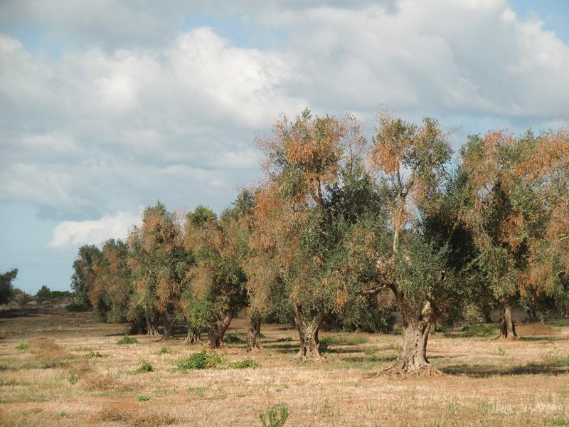 ulivi malati sp gallipoli sud-matino li sauli (7)