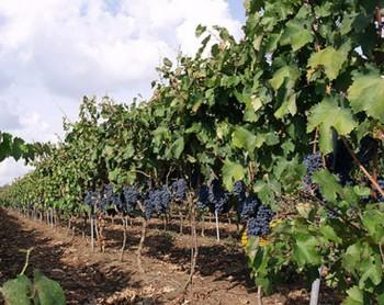 negroamaro_grapes_puglia
