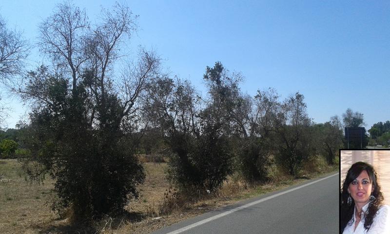 Ulivi malai zona fosca tra Alezio e Matino - agosto 2014 (2)