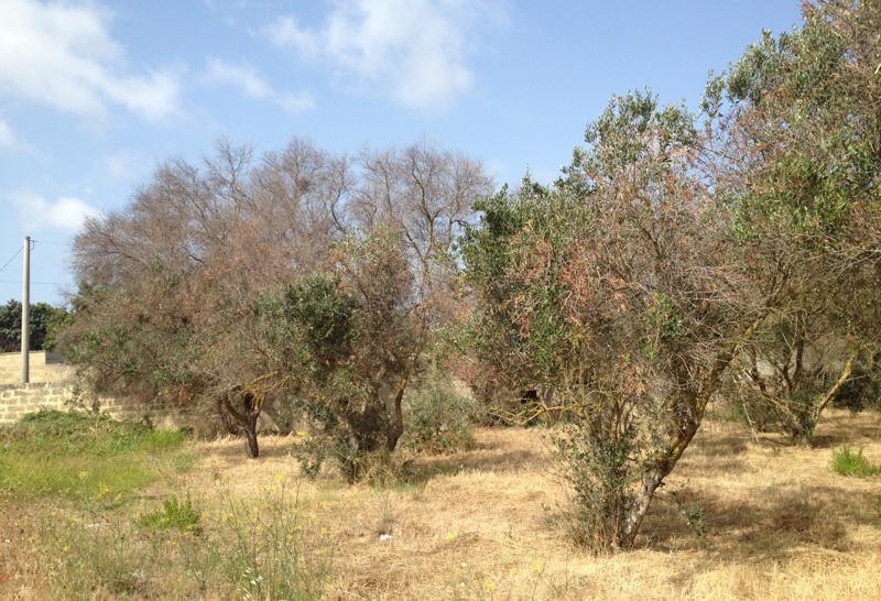 Fino a poco fa Alezio era stato interessato lungo l'asse viario per Taviano; da inizio estate anche il territorio a nord,   direzione Gallipoli e Sannicola è stato aggredito