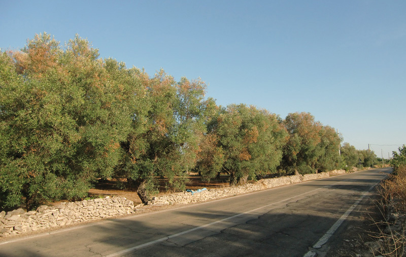 ulivi malati strada alezio-taviano (4)