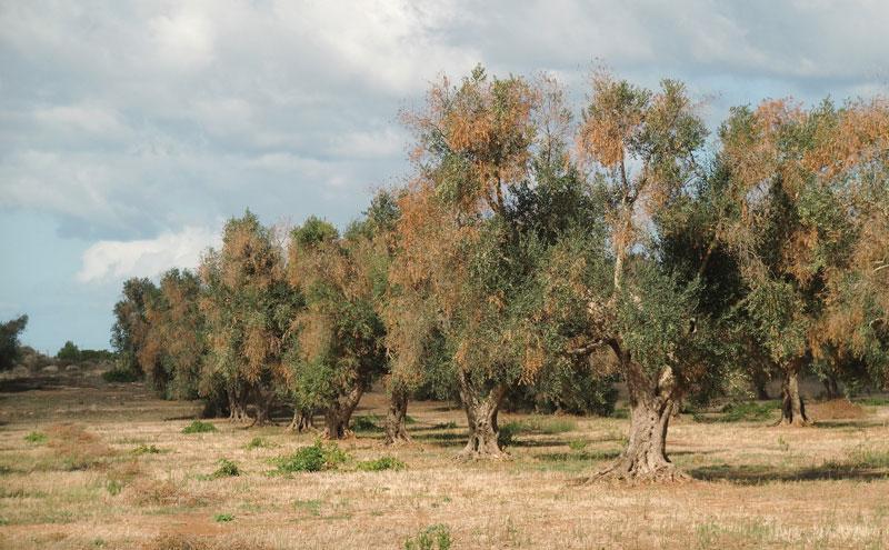 ulivi-malati-sp-gallipoli-sud-matino-li-sauli-7-(1)