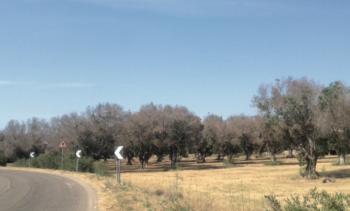 xylella campi ulivi