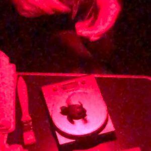 Nascita tartarughe a Pescoluse_Salve